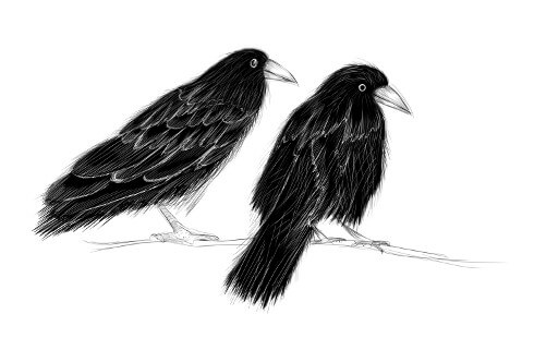 Picture of two crows on a branch